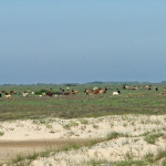 beach_cattle_001