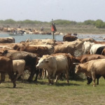 cattle_drive_2013_001