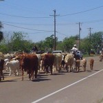 cattle-drive-008