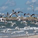 seagulls_flyingatbeach-2