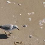 seagullwithdinner-2